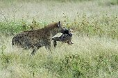 Hyène tachetée portant une tête de gnou Serengeti Tanzanie
