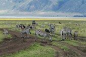 Zèbres de plaine et gnous sur une piste Ngorongoro Tanzanie