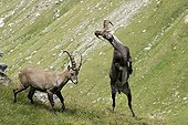 Play fighting between male ibexs Vanoise France