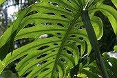 Cut leaf of Tarovine Guadeloupe