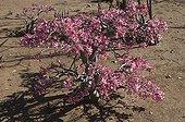 Desert Rose in bloom Kruger National Park South Africa