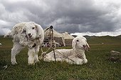 Two white lambs attached in front of a yurt Kyrgyzstan