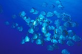 School of Orbicular Batfishes during breeding period Red Sea