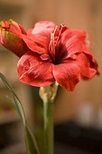 Amaryllis flower indoors France ; Plant native to Central America.