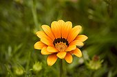 Gazania flower France ; Plant native to South Africa.