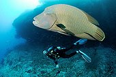 Humphead Wrasse and diver swimming Ari Atoll Maldives