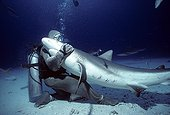 Shark handler embracing Shark in hyptonic trance Bahamas ; The tonic immobility response may be obtained from the Sharks in caressing the nose, area of ampullae of Lorenzini. The diver may then handle the fish at its discretion.