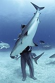 Shark handler handling Shark in hyptonic trance Bahamas ; The tonic immobility response may be obtained from the Sharks in caressing the nose, area of ampullae of Lorenzini. The diver may then handle the fish at its discretion.