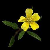 Primrose-willow in bloom in studio