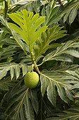 Fruit of Breadfruit Mayotte