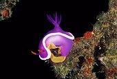 Nudibranch laying eggs Sipadan Malaysia