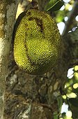 Jackfruit on the tree Mayotte