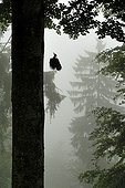Black Woodpecker on arrival at the nest in the forest Vosges Lorraine