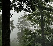 Black Woodpecker nest in the mist of the forest Vosges Lorraine