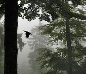Black woodpecker flying the nest in the forest Vosges Lorraine
