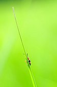 Longhorn Beetle warming in the sun on a blade of grass
