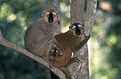 Family of red fronted Brown lemurs careful Madagascar