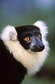 Portrait of a Ruffed Lemur Madagascar