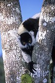 Ruffed Lemur careful in a tree Madagascar