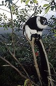 Ruffed Lemur sat on a branch Madagascar
