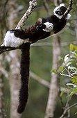 Ruffed Lemur resting lied on a branch Madagascar