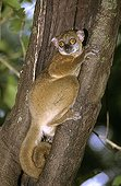 Ankarana sportive lemur (Lepilemur ankaranensis) in hollow trunk, Madagascar. The distribution range is less than 5,000 km², the range is severely fragmented, and there is continuing decline.