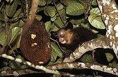 Aye-aye in front of a fruit of Jakfruit Madagascar