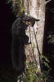 Aye-aye climbing on a tree Madagascar