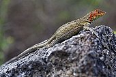 Female Galapagos lava lizard warming itself at sun Galapagos