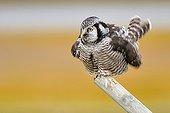 Northern Hawk Owl on a log Alaska USA