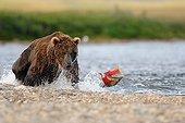 Grizzly catching Sockeye salmon Katmai Alaska USA