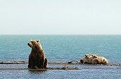 Grizzly and young lake Katmai Alaska
