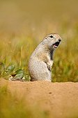 Arctic Ground Squirrel warning above its burrow Alaska