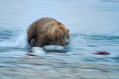 Grizzly pursuing a Sockeye salmon in a river Katmai Alaska
