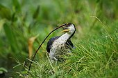 Little Pied Cormorant with a branch to build its nest