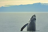 Humpback whale chin-slap Frederick Sound Alaska ; A whale repeatedly slaps the water with its pectoral fins