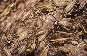Breeding of House Crickets Germany