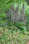 Bear's breeches and cinquefoil 'Miss Willmott' in a garden
