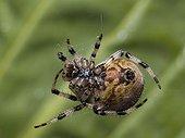 Araneus Quadratus Spider repairing its cobweb Doubs France