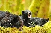 Black bear and cubs at rest on the foam Canada