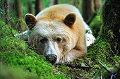 Kermode bear lying in the wet temperate forest Canada
