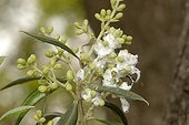 Olive Psyllid damages on buds of african Olive France ; Damage present in the form of white wax.