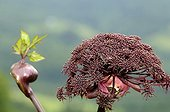 Angelica in summer Fresse-sur-Moselle ; Educational farm Fruits d'Altitude