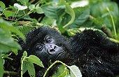 Young mountain gorilla resting Rwanda