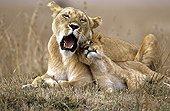 Lioness and her cub resting Masai Mara Kenya