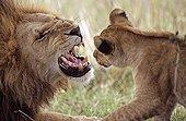 Male lion grumbling front a lion cub Masai Mara Kenya