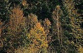 Forêt tempérée de feuillus en automne Vosges France