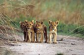 Group of lions on a runway Central African Republic