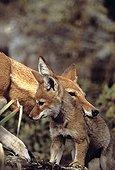 Simian jackal female ready to carry cub Ethiopia