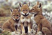 Simian jackal cubs near the den Ethiopia